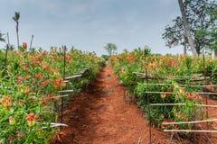Plantaci pole Tygrysiego pazura lecznicza roślina Zdjęcie Stock