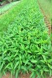 plantaci warzywo Zdjęcia Stock