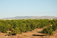 Plantación anaranjada Foto de archivo