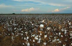 Plantación de algodón en la granja Imágenes de archivo libres de regalías