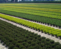 Plantación de arbustos ornamentales, y árboles Imagenes de archivo