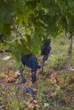Plantación de la uva Imagen de archivo libre de regalías