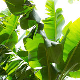 Plantación de plátano canaria Platano en el La Palma Foto de archivo