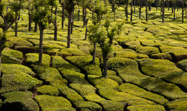 Plantación de té Foto de archivo libre de regalías