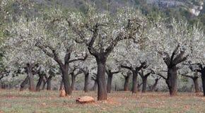 Plantación del campo de los árboles de almendra Imagen de archivo libre de regalías
