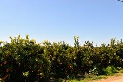 Plantaciones anaranjadas en la costa de Algarve en Portugal Lagos, Faro, Albufeira, Loulé, fotos de archivo