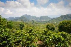 Plantaciones de café en las montañas de Honduras occidental de Santa Barbara National Park Fotografía de archivo