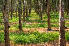 Plantaciones de goma Foto de archivo libre de regalías