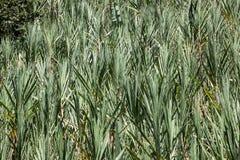 Plantaciones de la caña de azúcar Foto de archivo libre de regalías