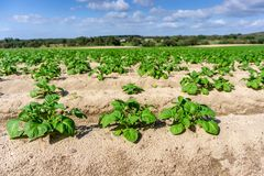 Plantaciones de la patata del huerto en la tierra, eco del concepto foto de archivo libre de regalías