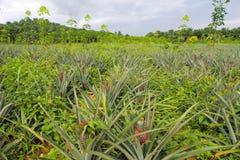 Plantaciones de la piña en la opinión del paisaje Fotos de archivo