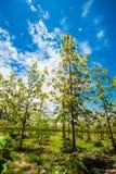 Plantaciones de la teca en Tailandia Fotografía de archivo libre de regalías