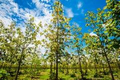 Plantaciones de la teca en Tailandia 2 Fotos de archivo