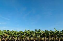 Plantaciones de plátano Fotos de archivo