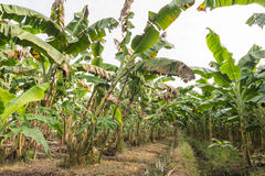 Plantaciones de plátano Imagen de archivo
