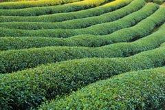 Plantaciones de té foto de archivo libre de regalías