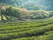 Plantaciones de té Imágenes de archivo libres de regalías