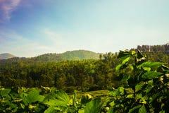 Plantaciones de té con color verde y paisaje hermoso como fondo imagen de archivo