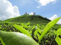 Plantaciones de té en la colina Fotos de archivo libres de regalías