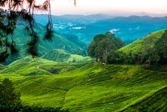 Plantaciones de té en las montañas de Cameron Fotografía de archivo