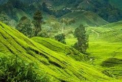Plantaciones de té en las montañas de Cameron Foto de archivo libre de regalías