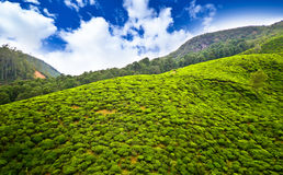 Plantaciones de té en Sri Lanka Imágenes de archivo libres de regalías