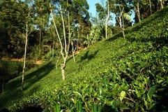 Plantaciones de té en Sri Lanka Foto de archivo libre de regalías