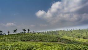Plantaciones de té en un fondo del cielo azul y de las nubes imagen de archivo libre de regalías