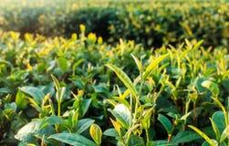 Plantaciones de té verde Fotografía de archivo libre de regalías