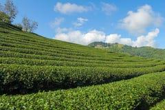 Plantaciones de té verde imagenes de archivo