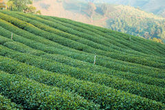 Plantaciones de té verde Fotos de archivo libres de regalías