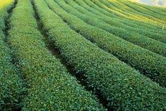 Plantaciones de té verde imagen de archivo