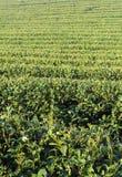 Plantaciones de té verde foto de archivo