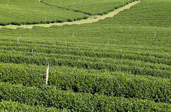 Plantaciones de té verde Imágenes de archivo libres de regalías