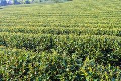 Plantaciones de té verde imagen de archivo libre de regalías