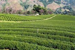 Plantaciones de té verde fotografía de archivo
