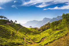 Plantaciones de té verde hermosas Fotografía de archivo