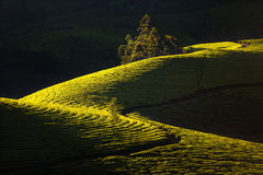 Plantaciones de té verde hermosas Imágenes de archivo libres de regalías