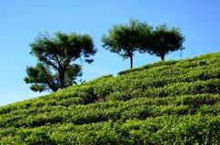 Plantaciones de té y el cielo azul fotografía de archivo