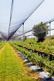plantaciones del arándano Foto de archivo