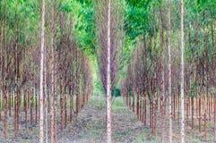 Plantaciones del eucalipto Imagen de archivo