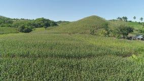 Plantaciones del maíz en las Filipinas almacen de metraje de vídeo