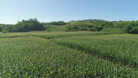 Plantaciones del maíz en las Filipinas almacen de video