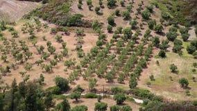 Plantaciones verdes olivas en el pueblo de Nea Skioni, península de Kassandra, Chalkidiki, Grecia