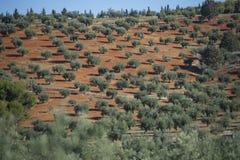 Plantacj drzewa oliwne zdjęcia royalty free