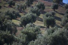 Plantacj drzewa oliwne zdjęcie stock