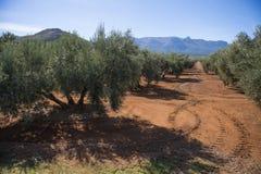 Plantacj drzewa oliwne obrazy royalty free
