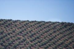 Plantacj drzewa oliwne obraz royalty free