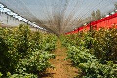 plantacj jeżynowe malinki Zdjęcie Stock