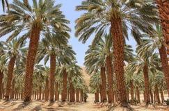 Plantacja daktylowa palma przy kibuc Ein Gedi, Izrael fotografia stock